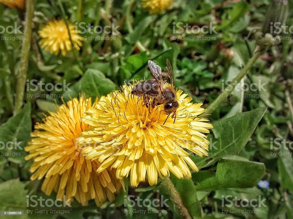 Bee on a Dandelion Flower stock photo