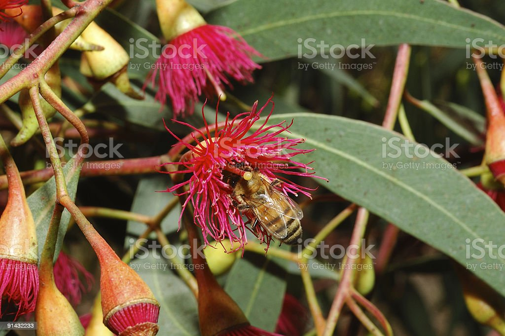 Bee on a flower eucalyptus royalty-free stock photo