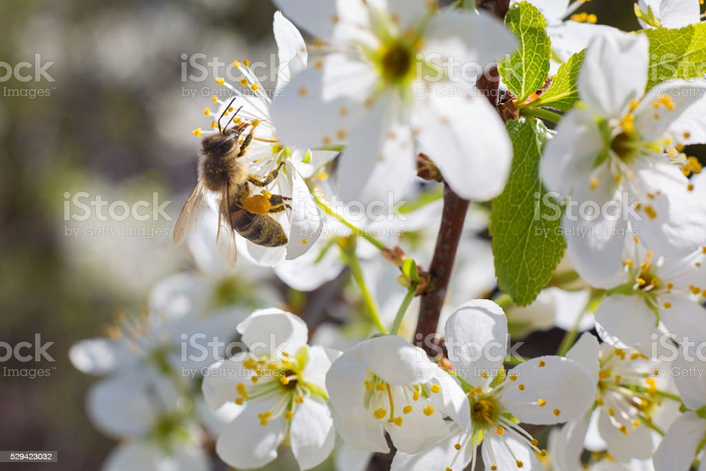 Bee on a flower of the white blossoms tree stock photo
