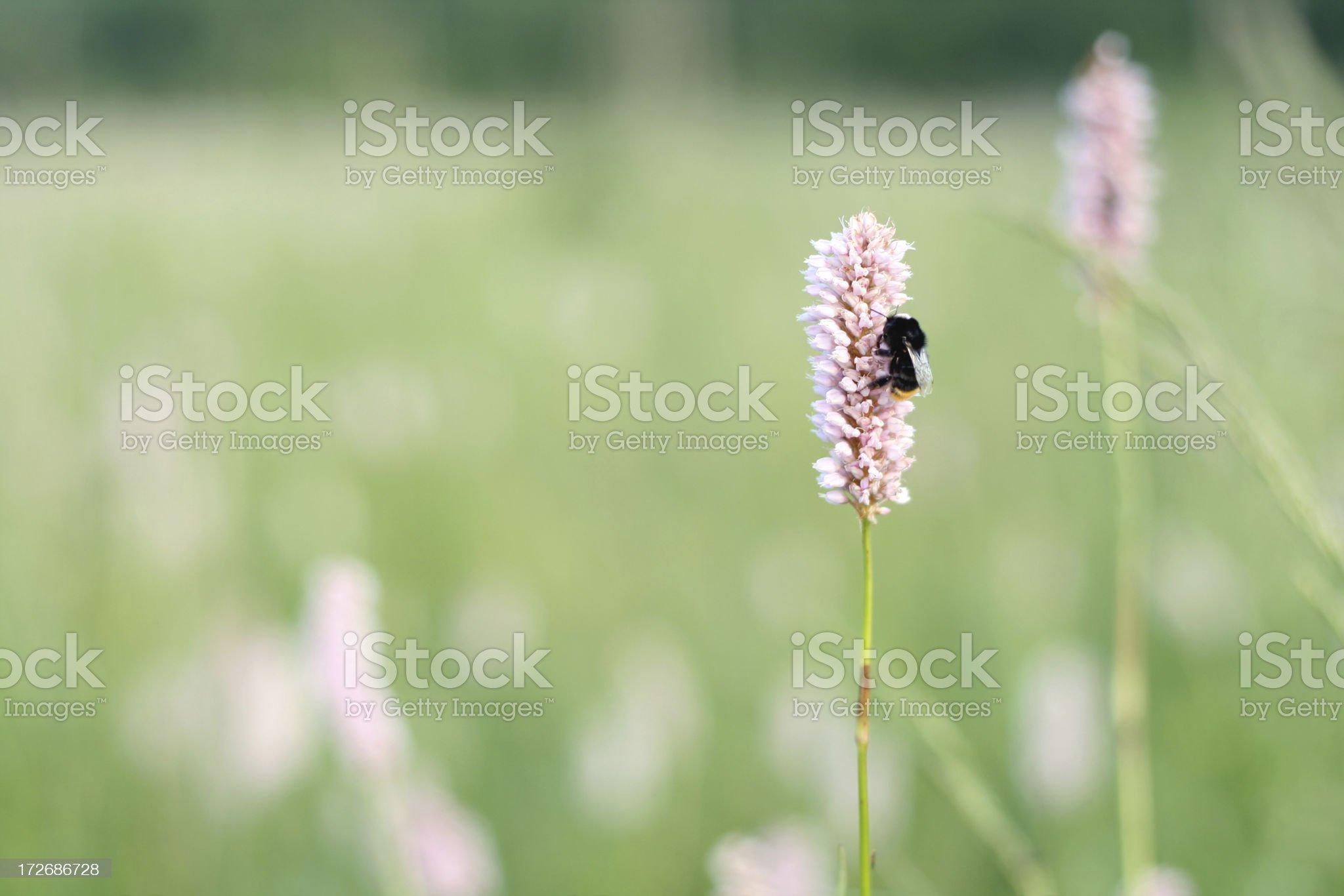 bee on a flower royalty-free stock photo