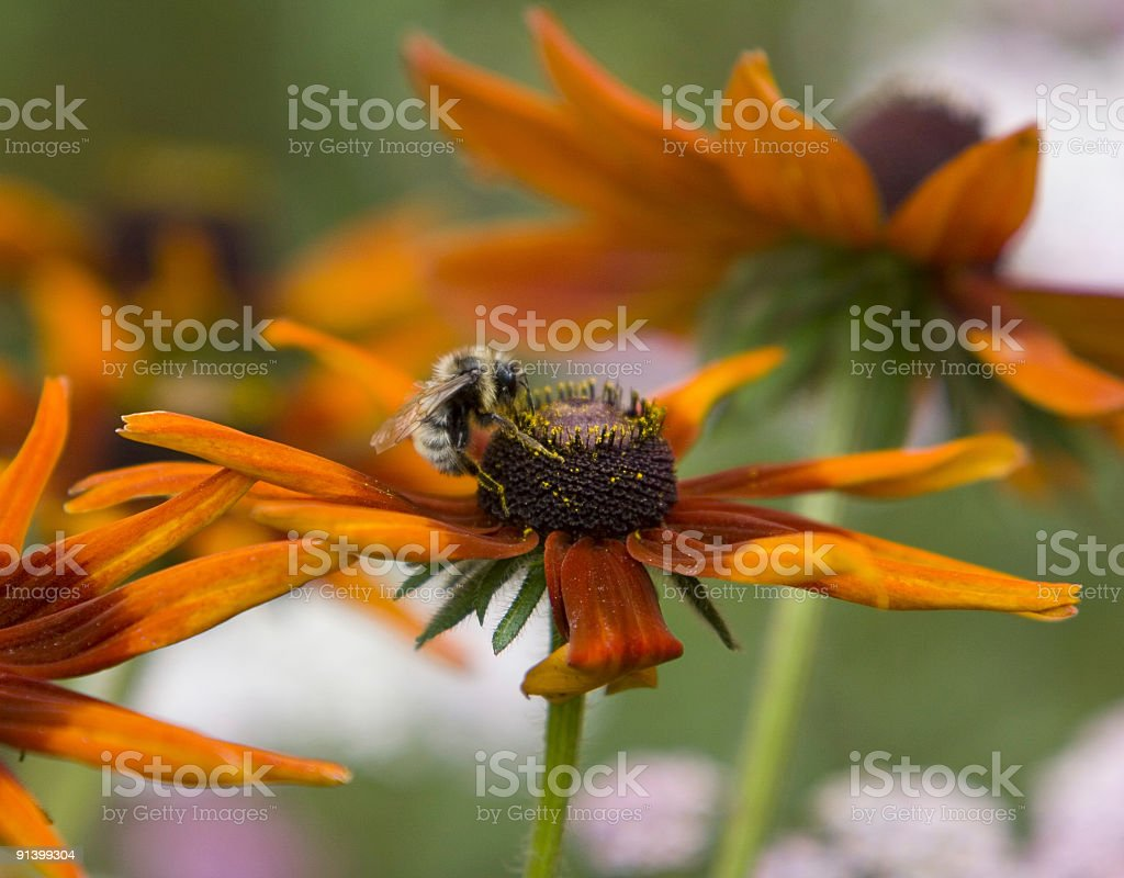 Bee on a Flower (Rudbeckia) royalty-free stock photo