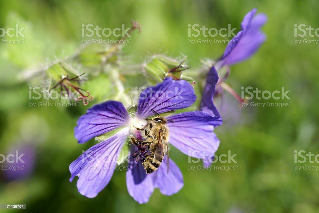 Bee on a geranium stock photo