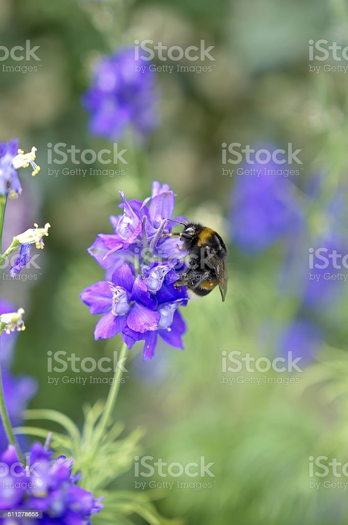 Bee on a levander flower stock photo