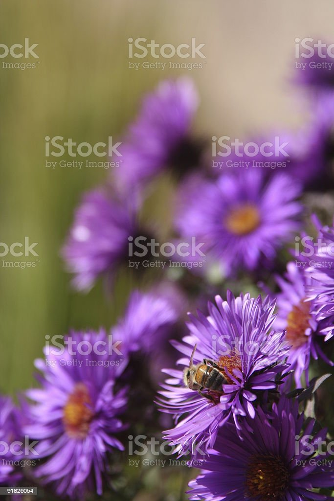 Bee on a purple aster royalty-free stock photo