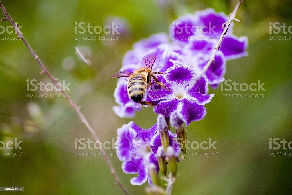 Bee on a purple duranta royalty-free stock photo