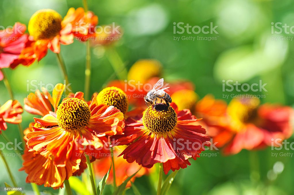 bee on a red flower collects pollen stock photo