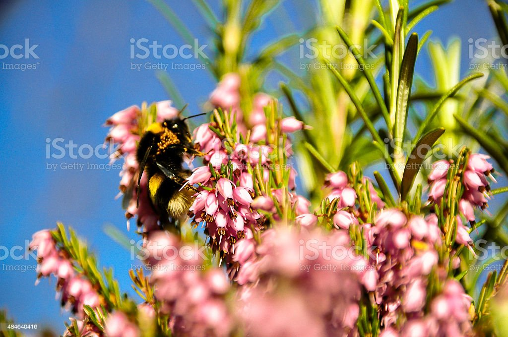 Bee on a rosemary plant stock photo