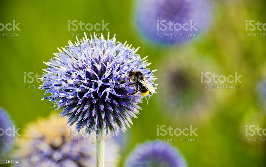 bee on a thistle flower stock photo