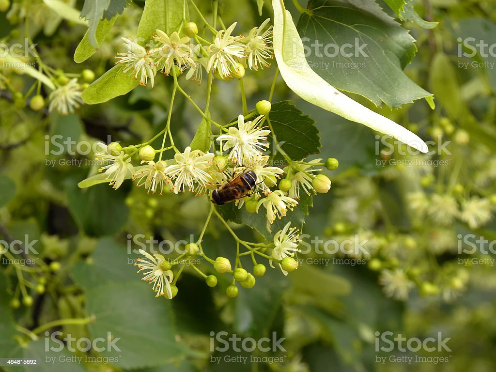 Bee On A Twig Of Blossomimg Lime Tree stock photo