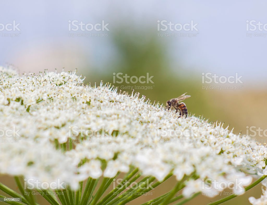 Bee on a white flower stock photo