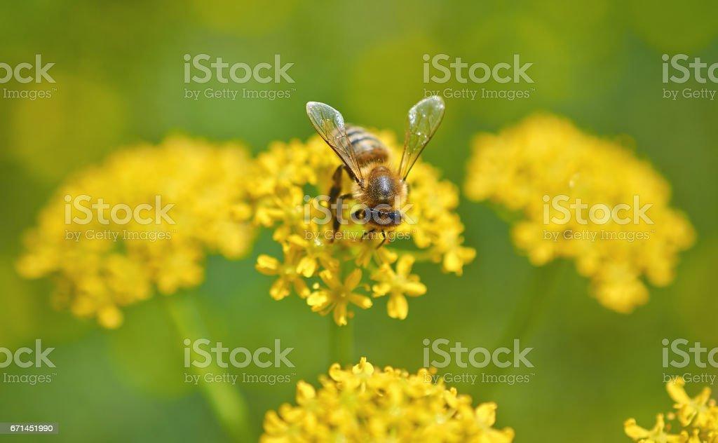 Bee on a yellow flower macro. stock photo