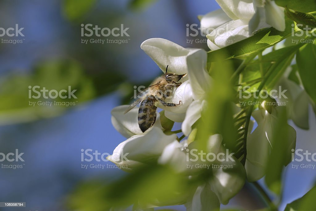 Bee on acacia flower royalty-free stock photo