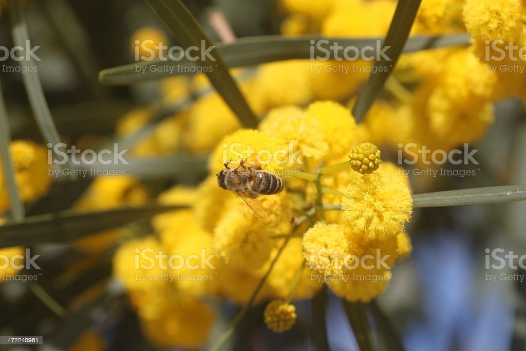 bee on Acacia retinodes stock photo