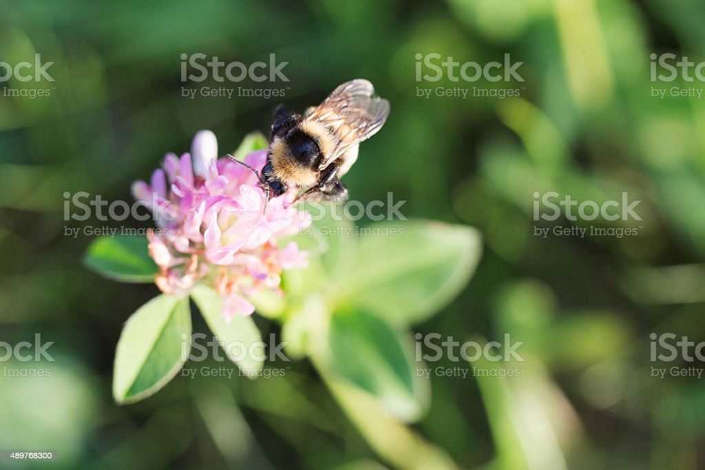Bee on Alfalfa Clover Flower stock photo