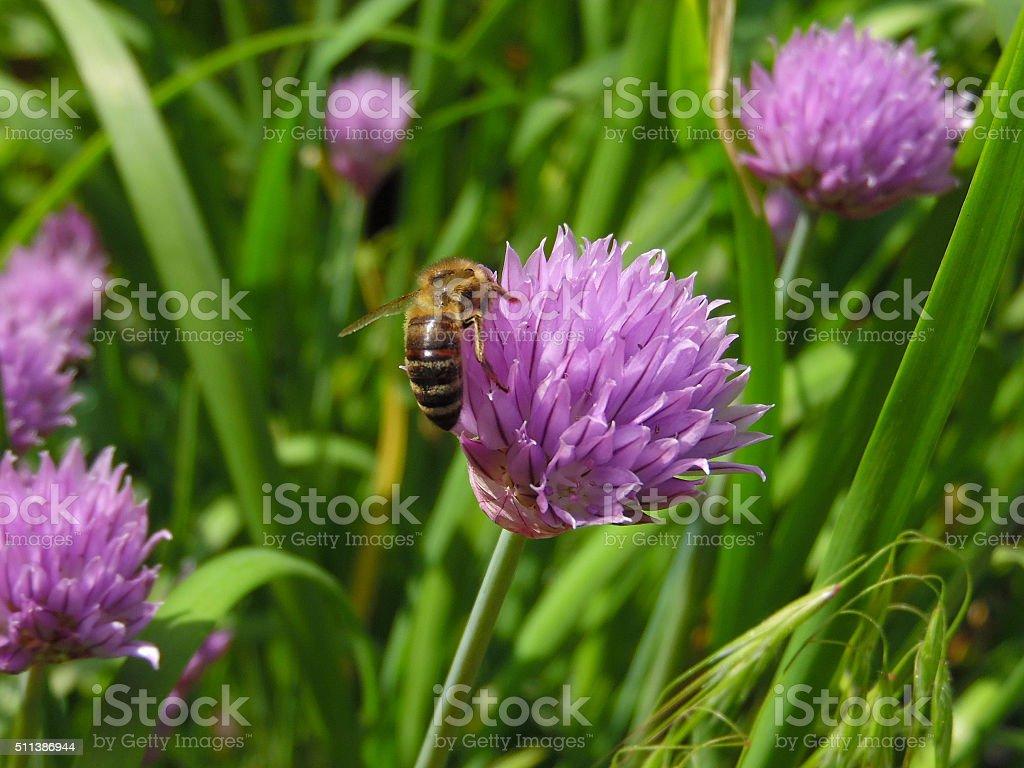 Bee on an allium flower stock photo