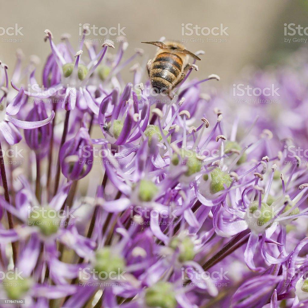 Bee on an Allium stock photo