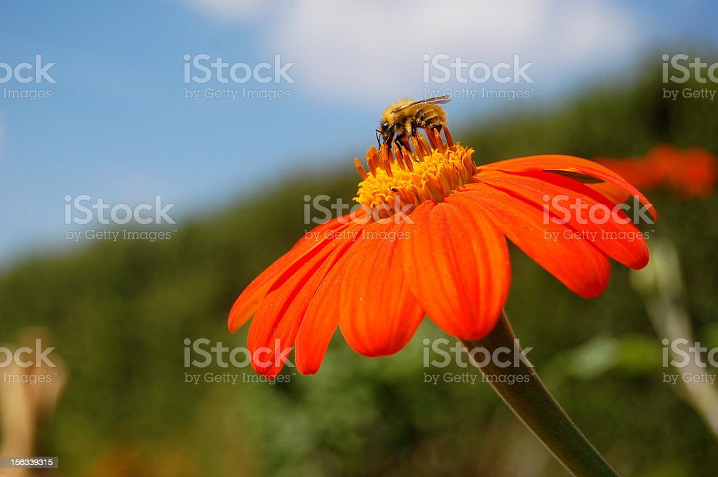 Bee on an Orange Flower royalty-free stock photo