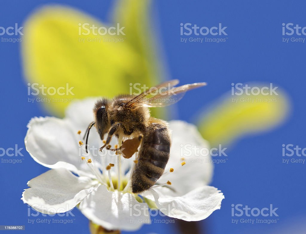 Bee on apple blossom, macro shot royalty-free stock photo