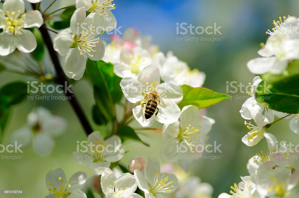 bee on apple flowers on a tree stock photo
