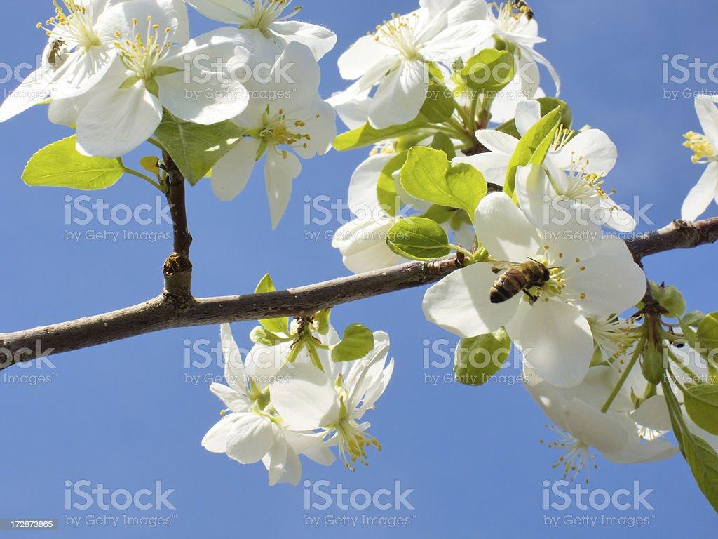 bee on apple tree stock photo