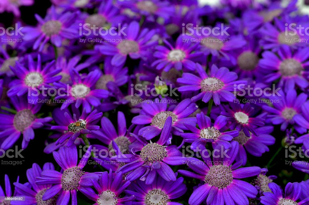 Bee on Aster Blossoms stock photo