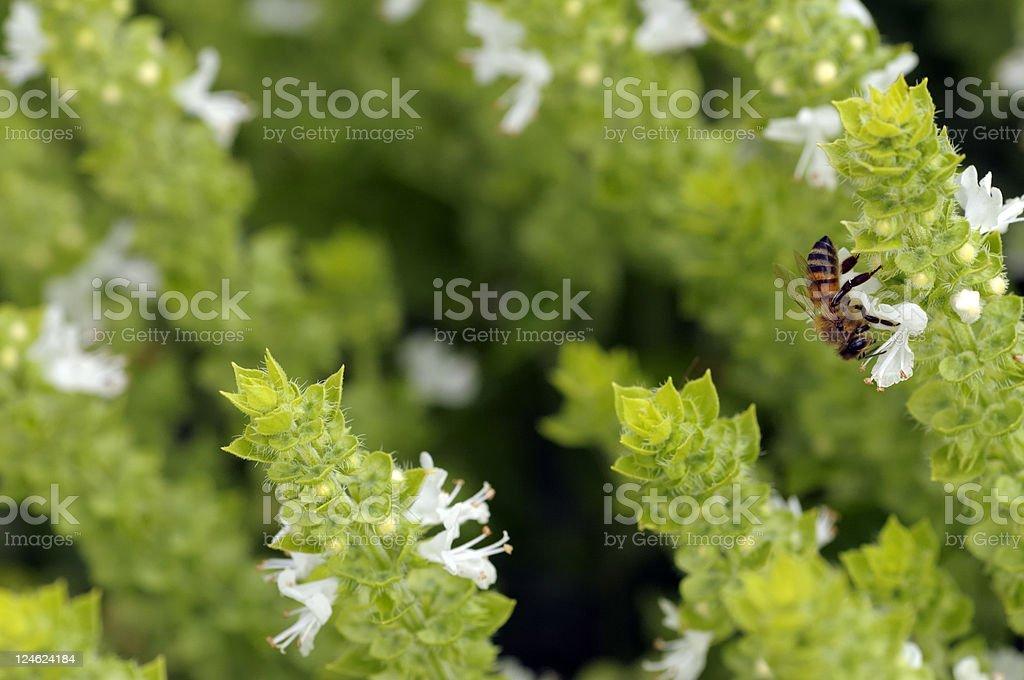 bee on basil flower stock photo