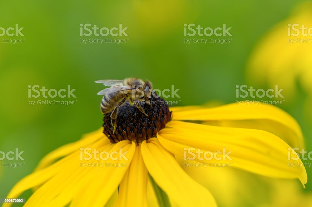 Bee on Black-Eyed Susan. Defocused green nature background. stock photo