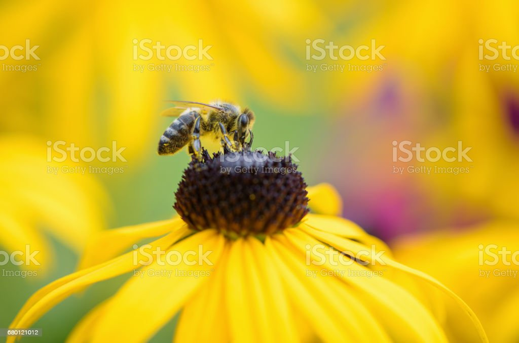 Bee on Black-Eyed Susan. Defocused nature background. stock photo