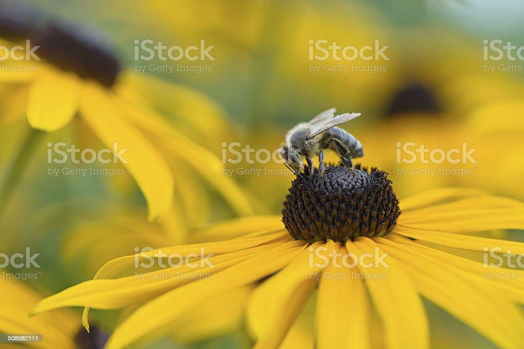Bee on Black-Eyed Susan stock photo