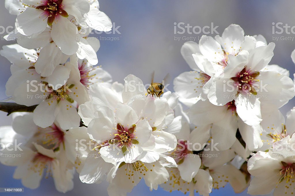 Bee on Blossom royalty-free stock photo