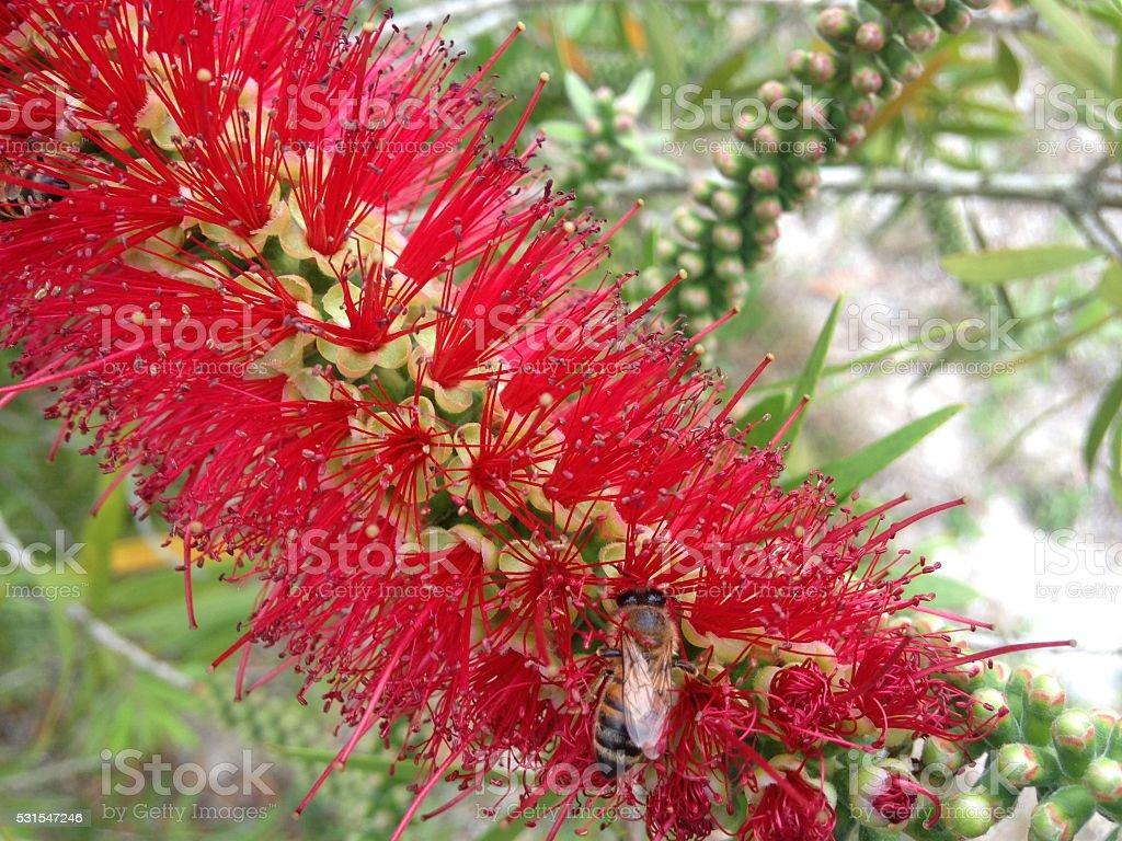 Bee on Blossoming Callistemon Citrinus (Lemon Bottlebrush) Plant. stock photo