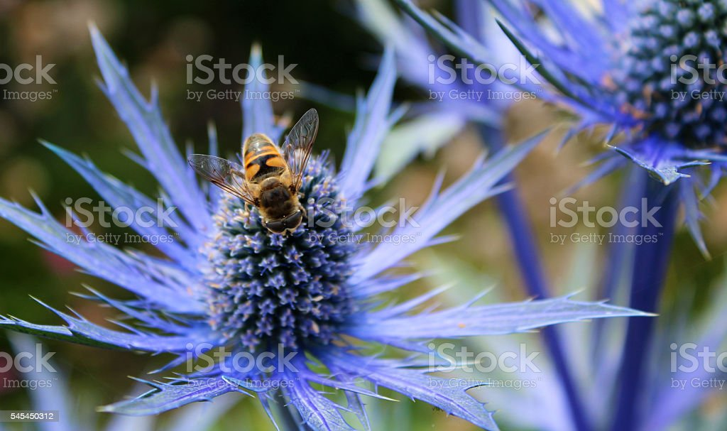 Bee on blue thistle stock photo