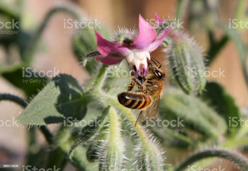 Bee on Borage flowers (Borago officinalis) stock photo
