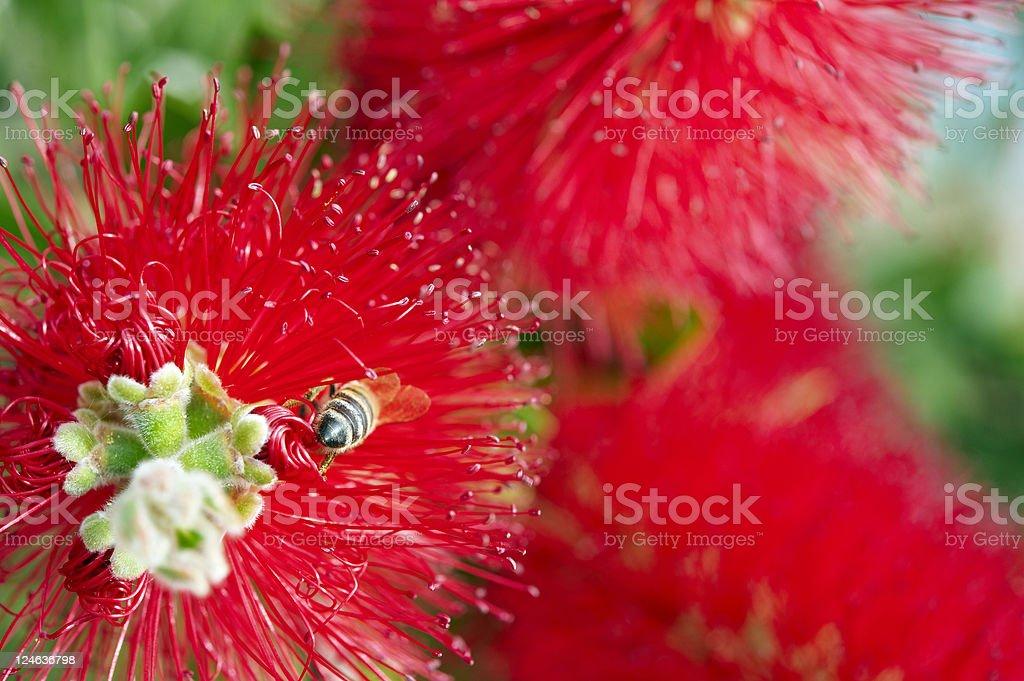 Bee on Bottlebrushes stock photo