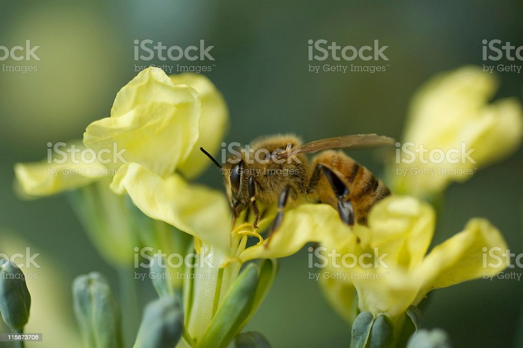 Bee on Broccoli royalty-free stock photo