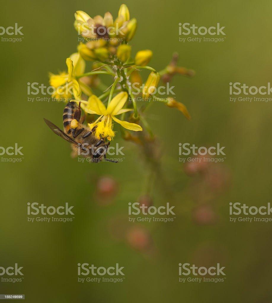 Bee on Bulbine Flower stock photo