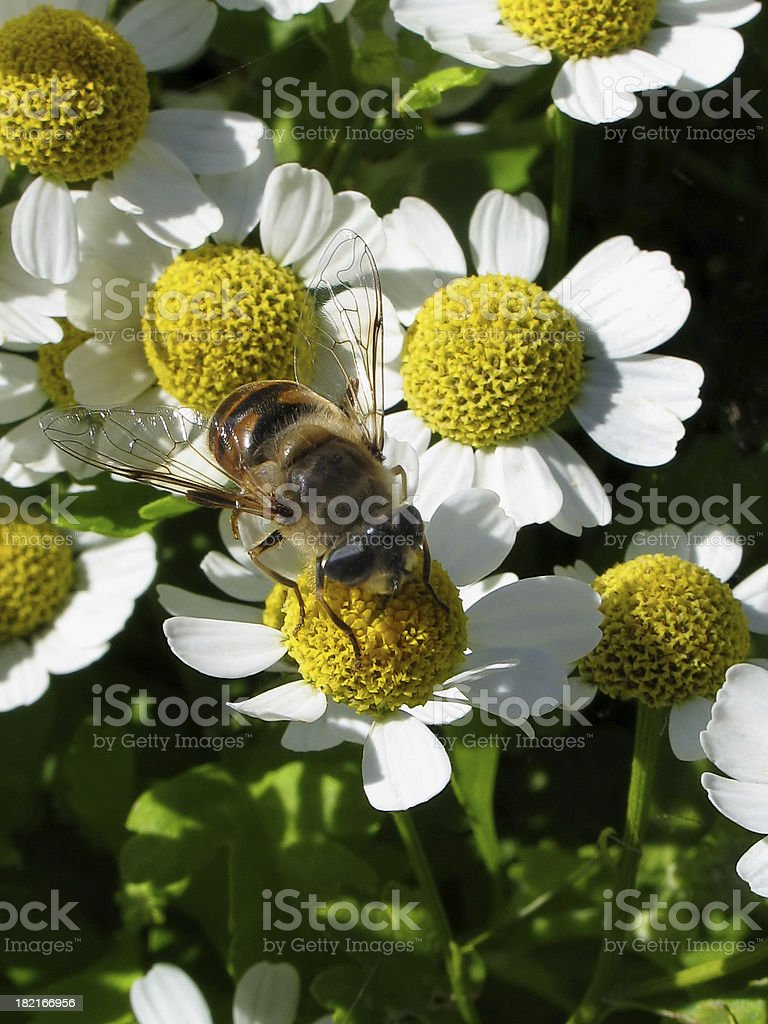 Bee on Camomile Flowers royalty-free stock photo