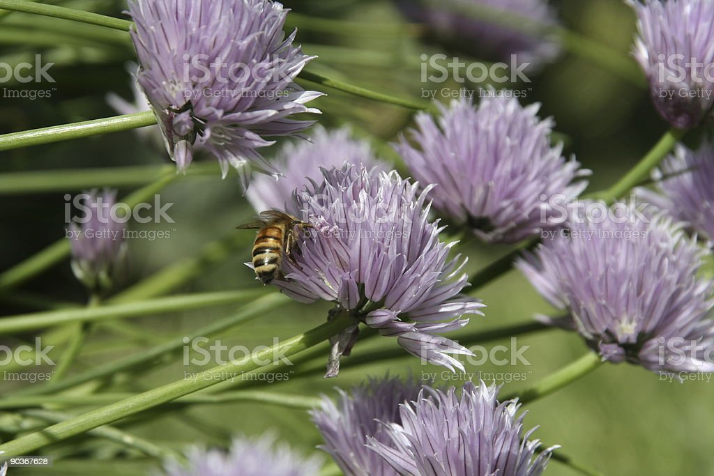 Bee on chive flower stock photo