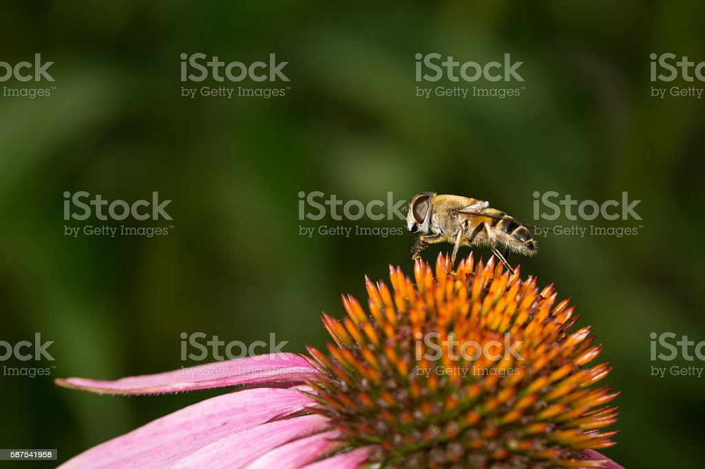 Bee on colorful flower with black background stock photo