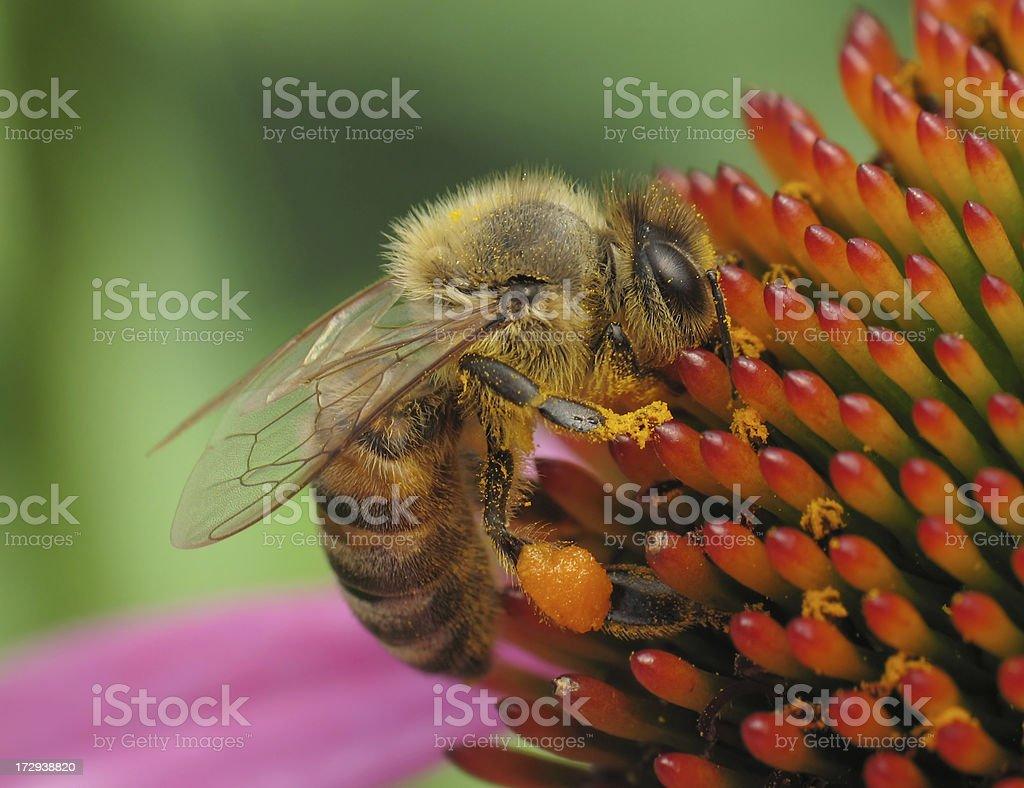 bee on coneflower royalty-free stock photo