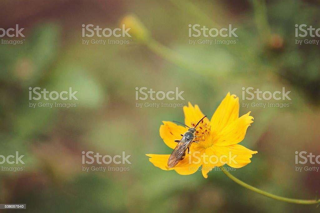 bee on coreopsis stock photo