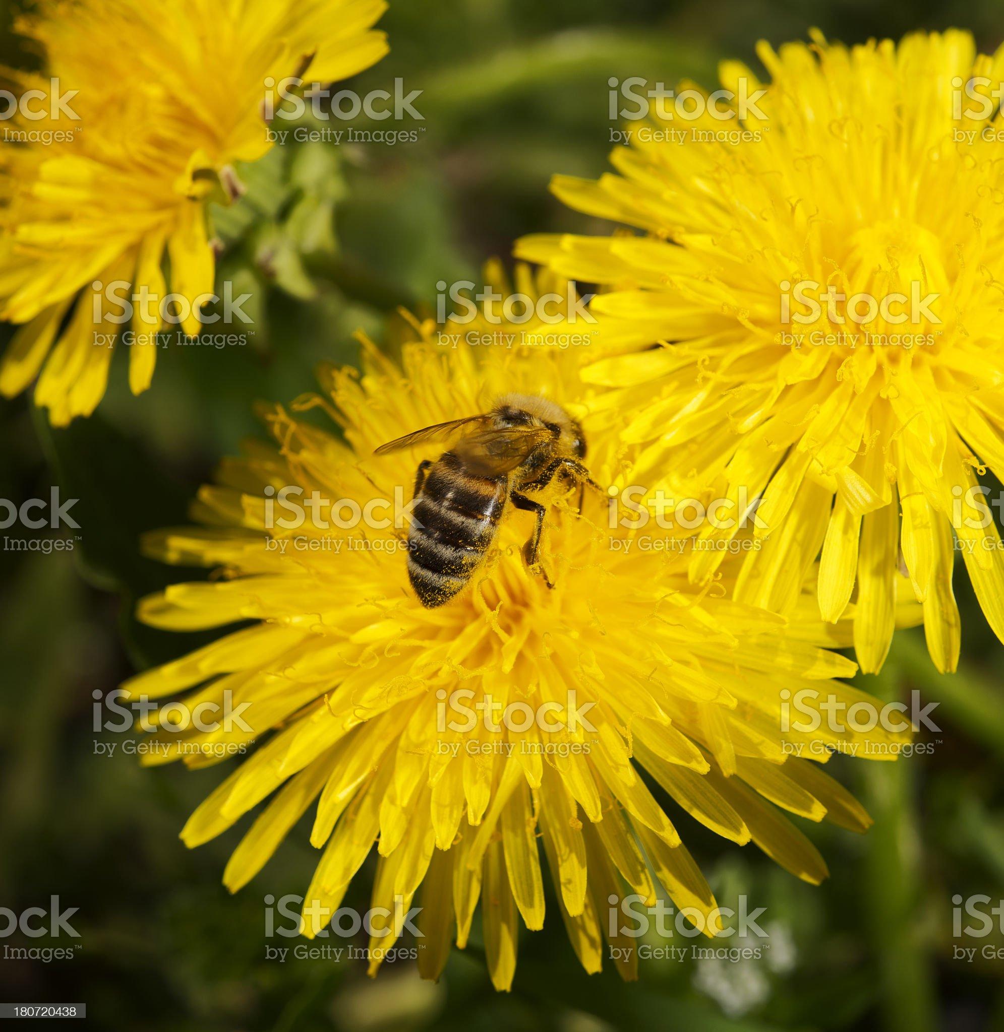 Bee on dandelion royalty-free stock photo