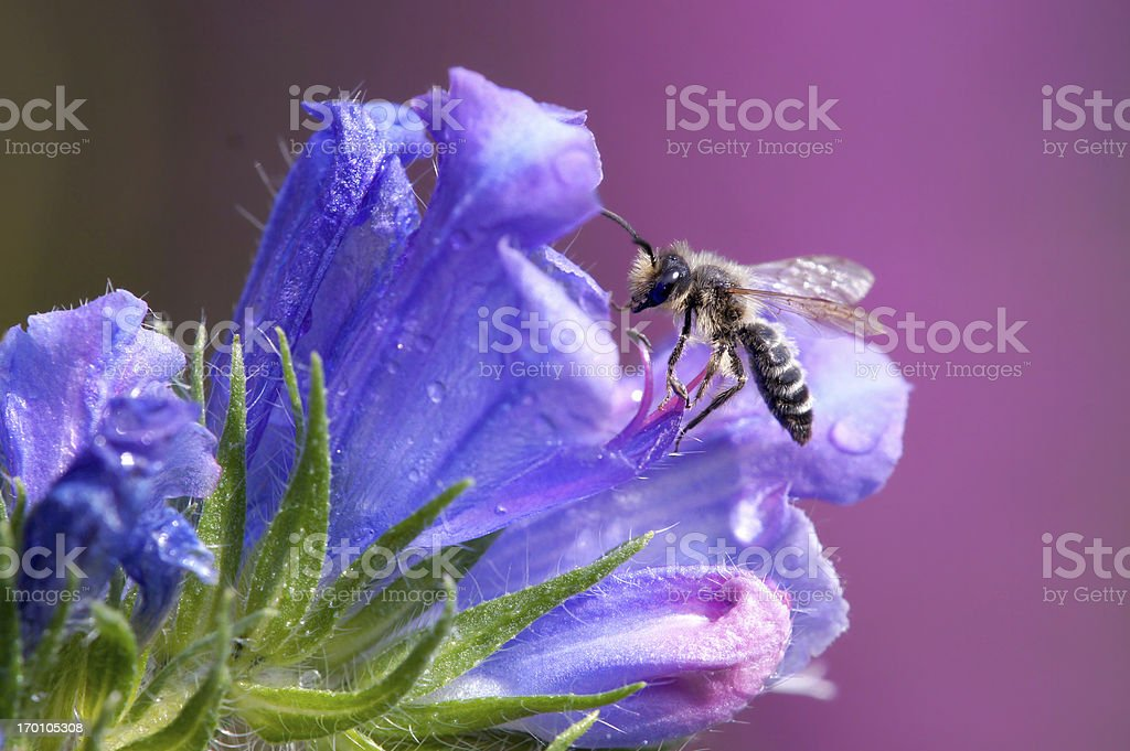 Bee on echium vulgare flower royalty-free stock photo