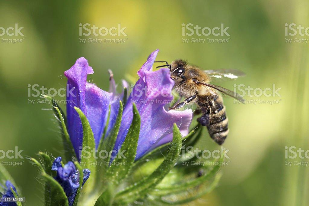 Bee on Echium vulgare stock photo
