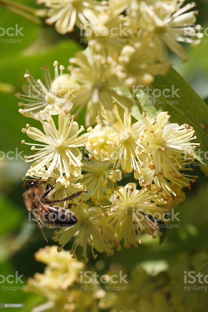 bee on flowers linden closeup vertical stock photo