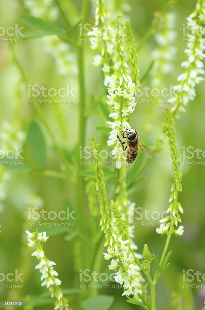 Bee on flowers royalty-free stock photo