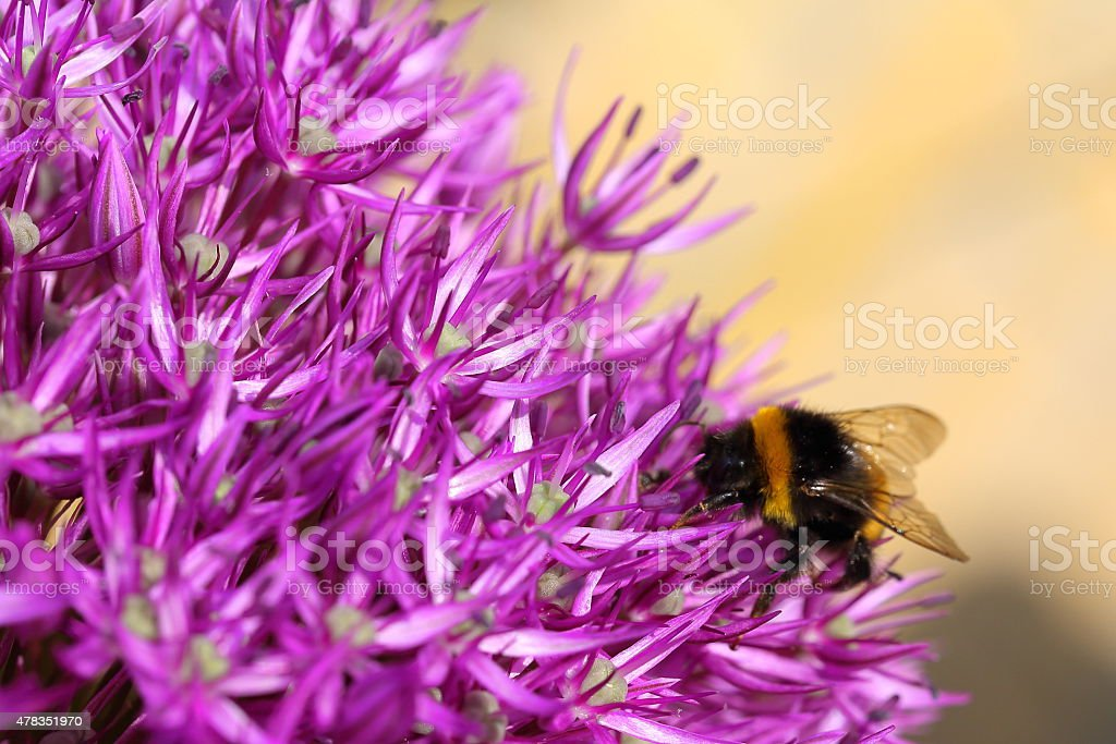 Bee on Giant Onion - Allium giganteum, macro stock photo