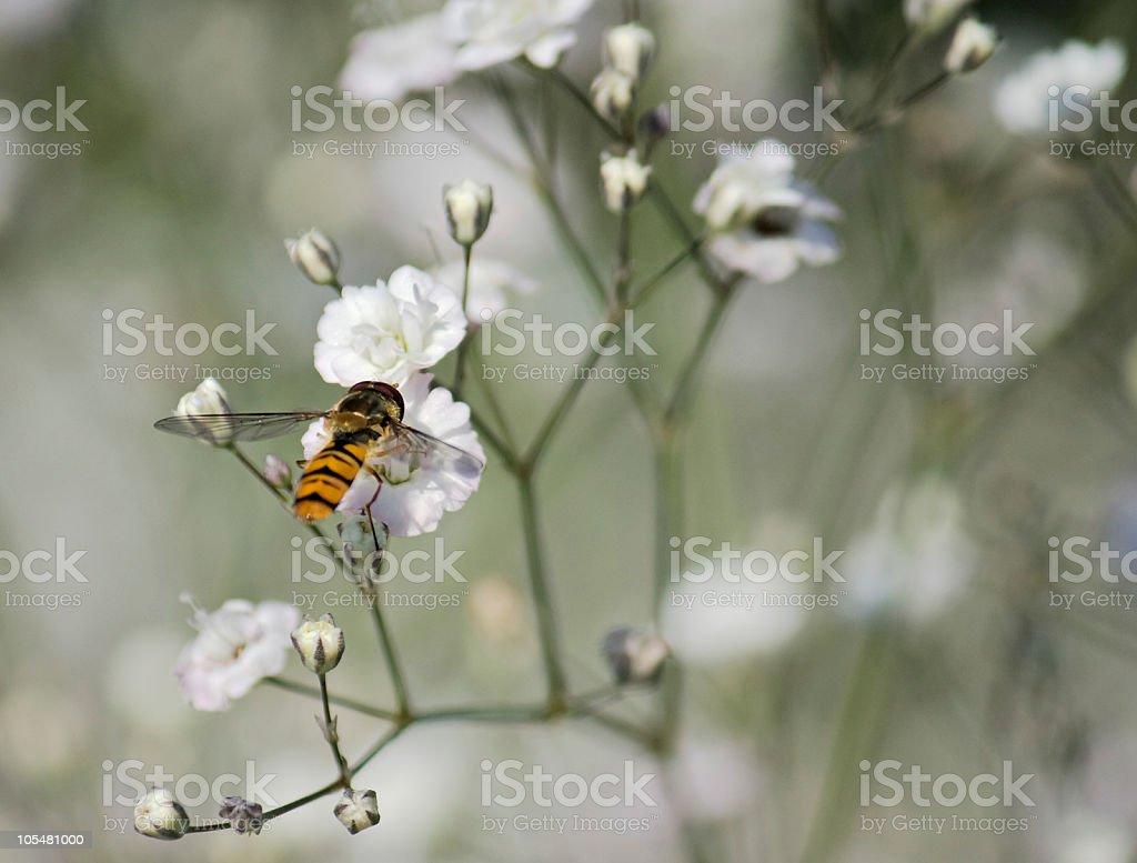 Bee on Gypsophila flower royalty-free stock photo