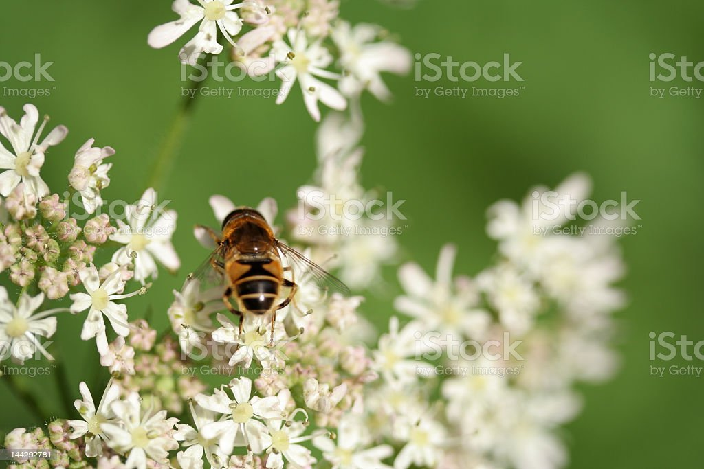 bee on hogweed stock photo