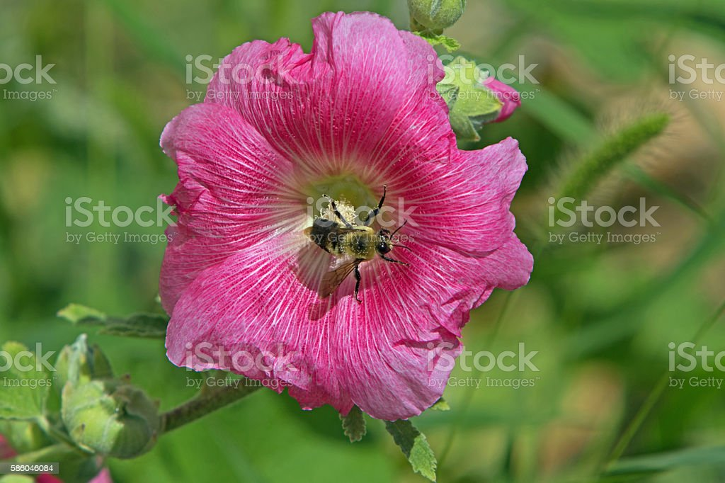 Bee on Hollyhock flower stock photo